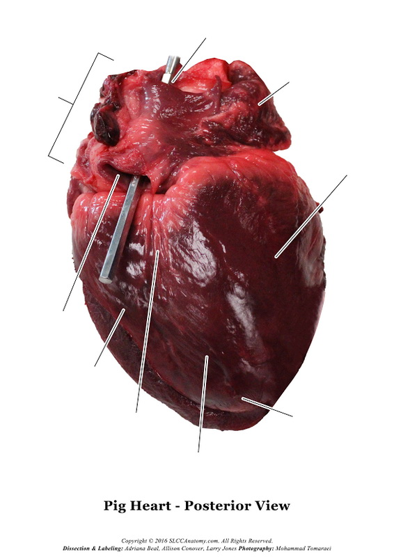 Pig Heart