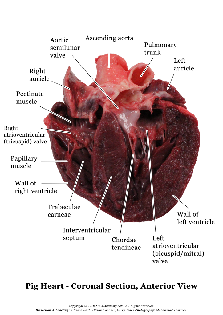 Pig heart labeled diagram electrical wiring diagram pig heart dissection photos rh slccanatomy com human heart diagram labeled male fetal pig diagram ccuart Image collections
